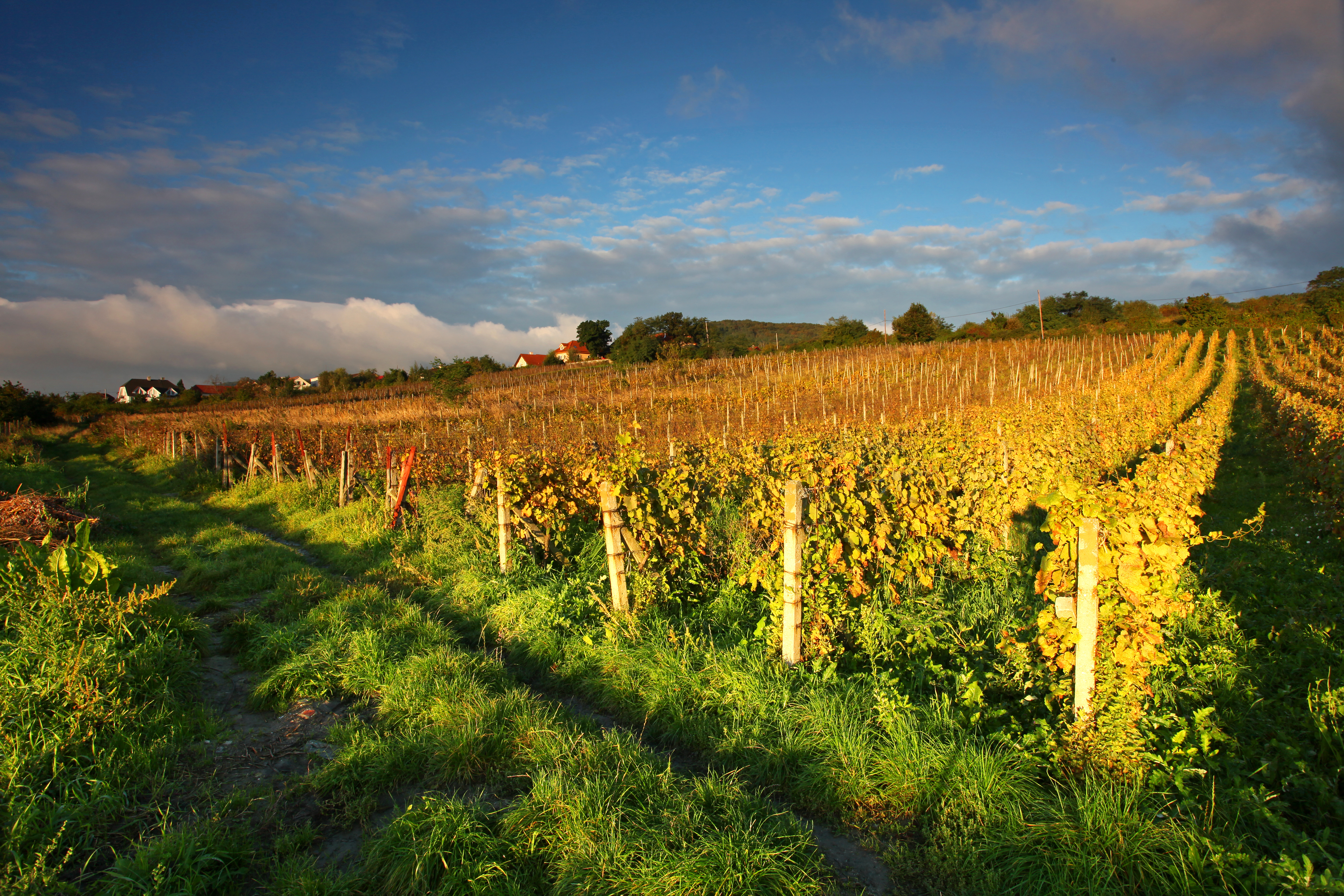 Beautiful Vineyard Landscape with road